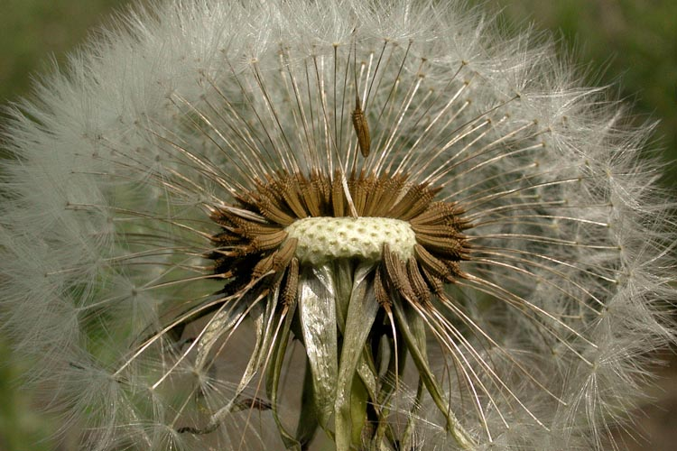 Taraxacum officinale fruiting