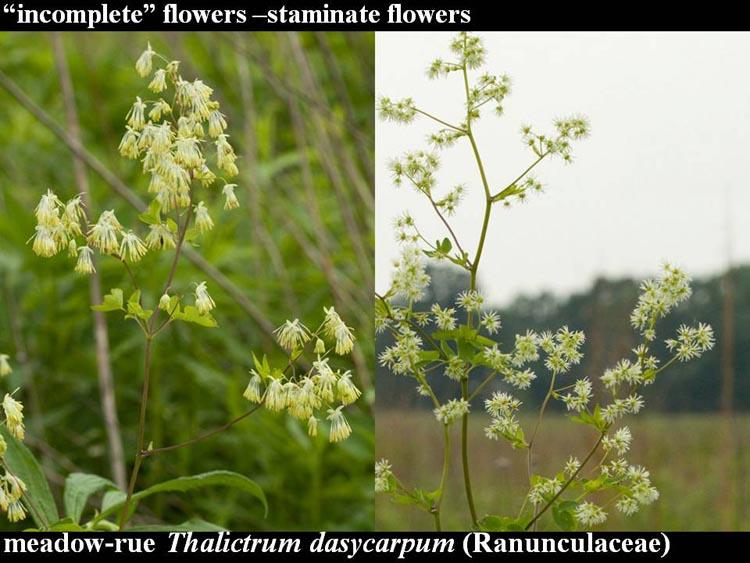 Thalictrum dasycarpum plants
