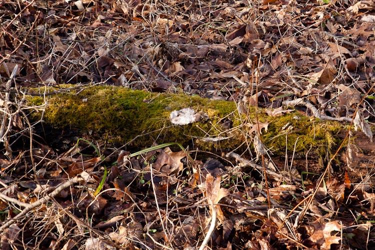 Thuidium delicatulum habitat