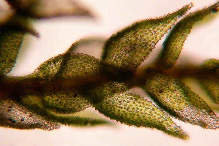Thuidium delicatulum leaves