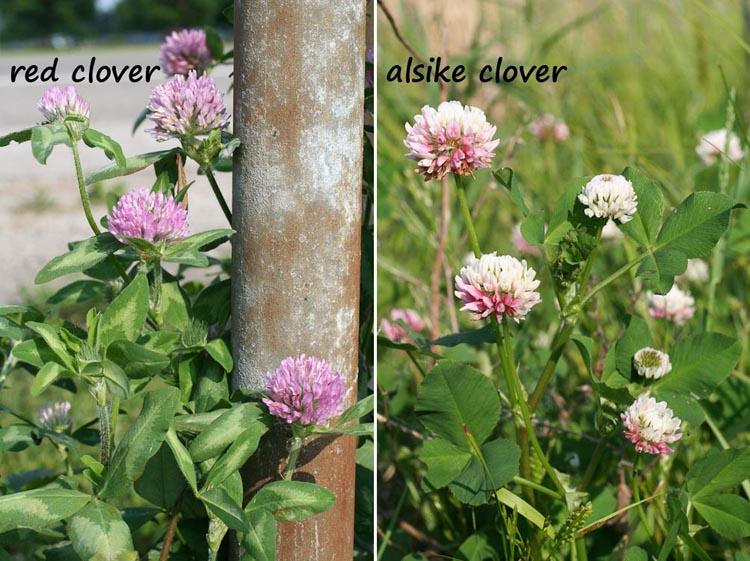 Trifolium pratense hybridum
