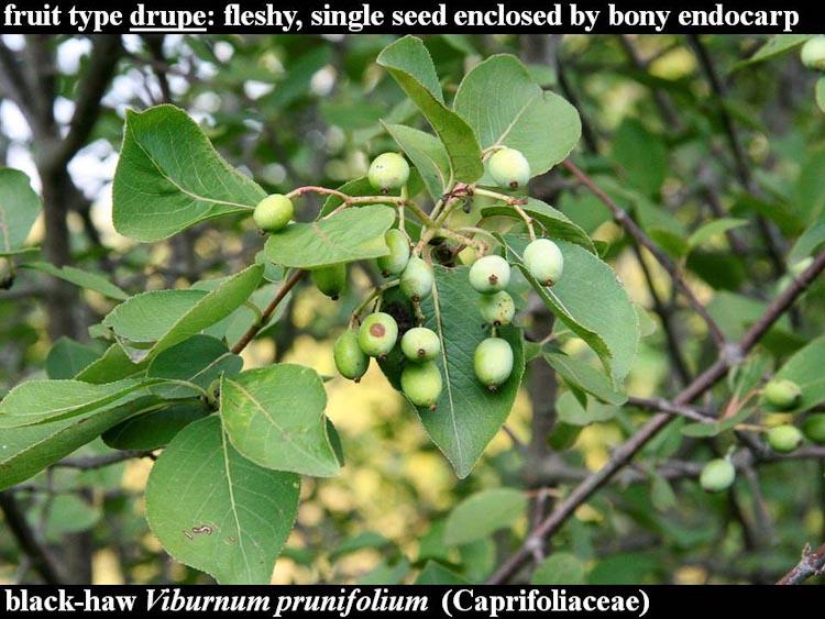 Viburnum prunifolium fruit