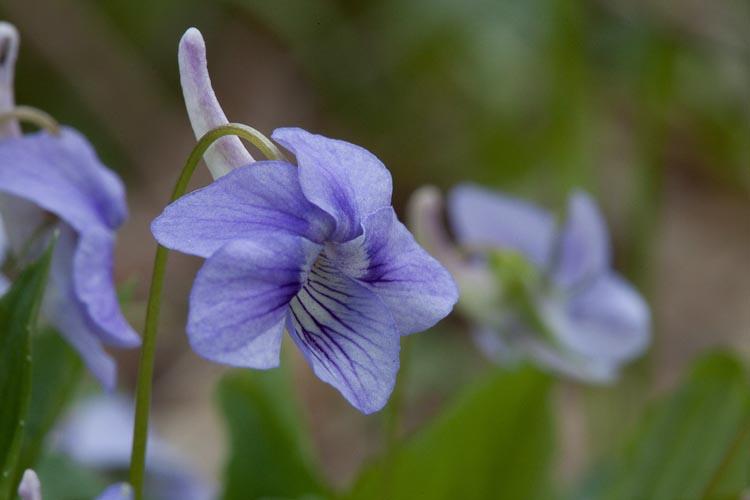 Viola rostrata