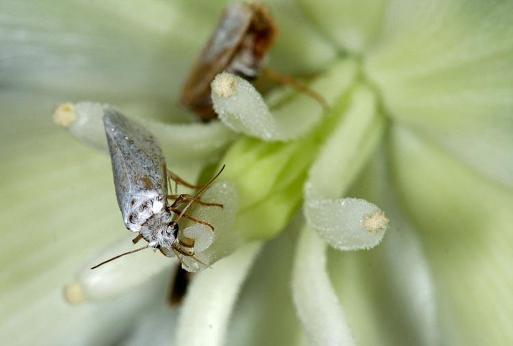 Yucca filamentosa pollinating