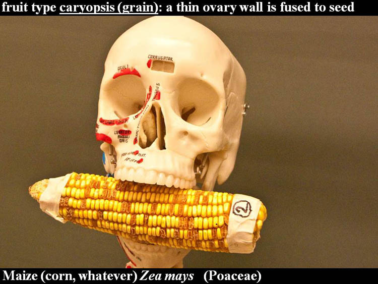 Zea mays fruits