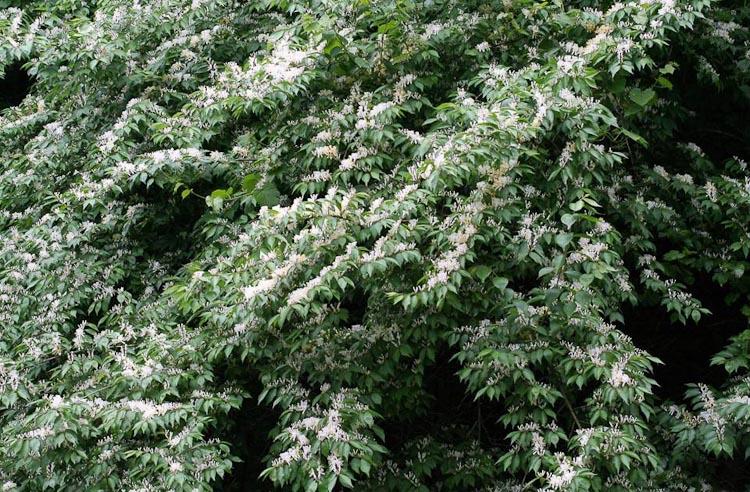amur honeysuckle plant