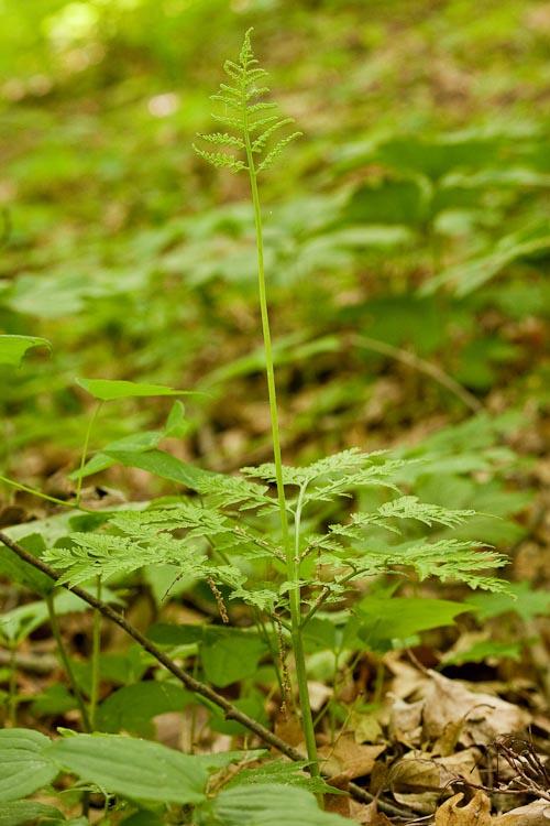Botrychium virginianum-sporangia