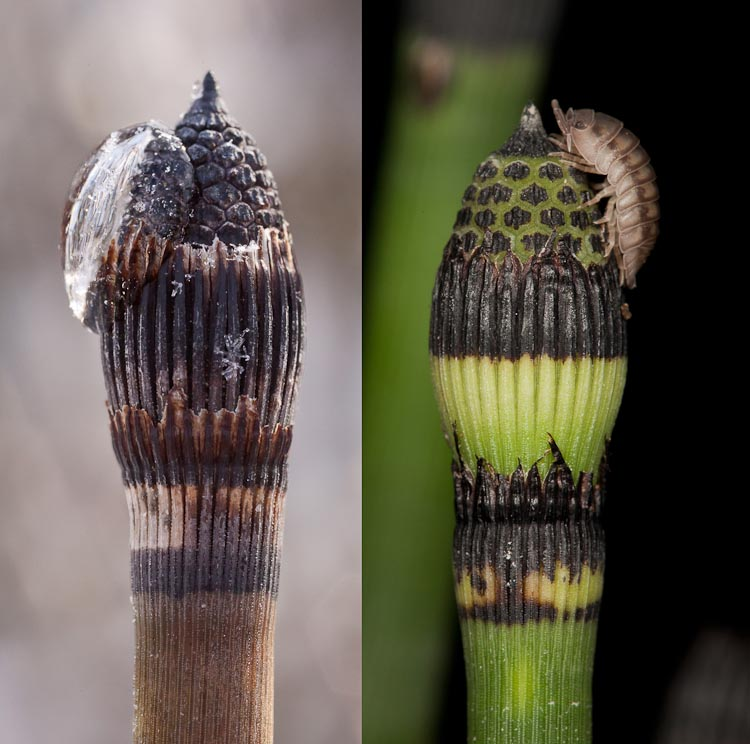 Equisetum hyemale seasons