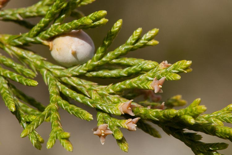 Juniperus virginiana ovulate