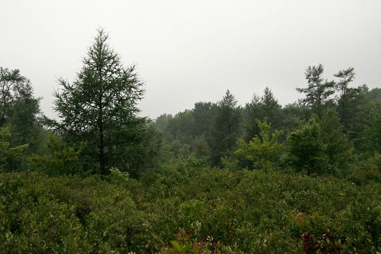 Larix laricina habitat