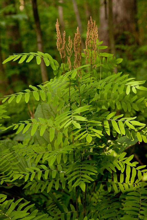 Royal fern is a huge swamp plant, with large leaflets.