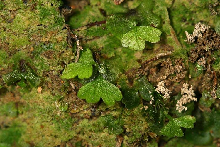 Polystichum acrostichoides gametophytes