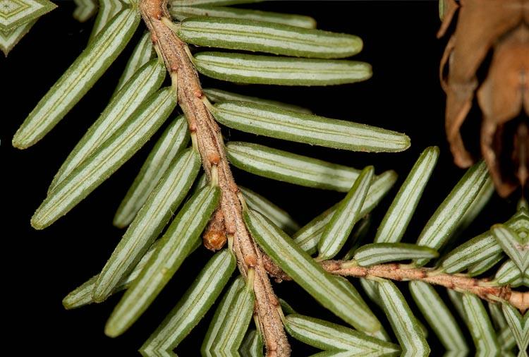 Tsuga canadensis twig