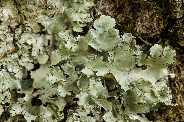 Ruffle lichen, Parmotrema hypotropum