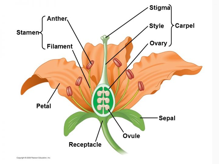 Flowers are aggregates of sexual organs in angiosperms.
