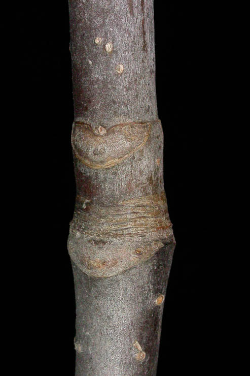 Aesculus glabra bud scale scras (scars, whatever)