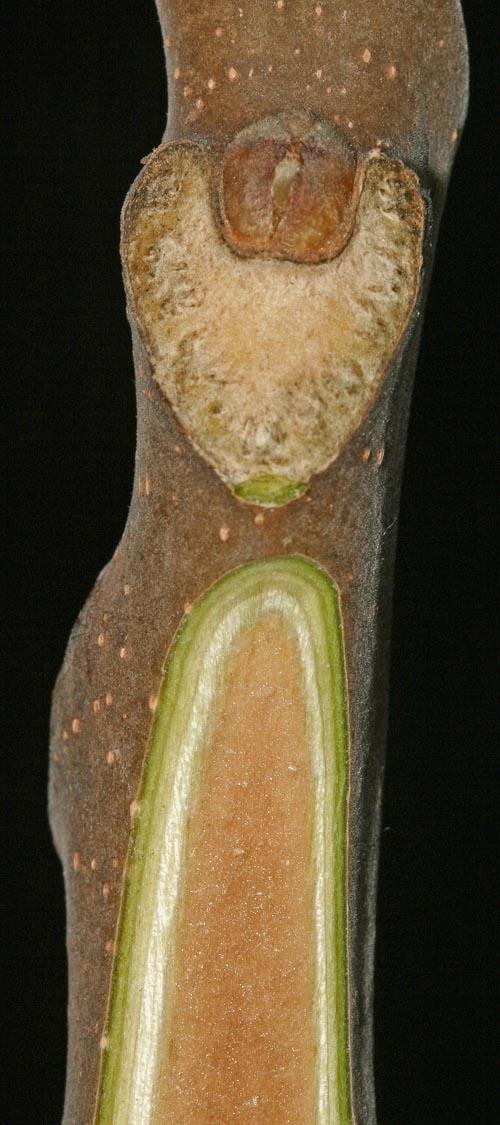 Ailanthus pith
