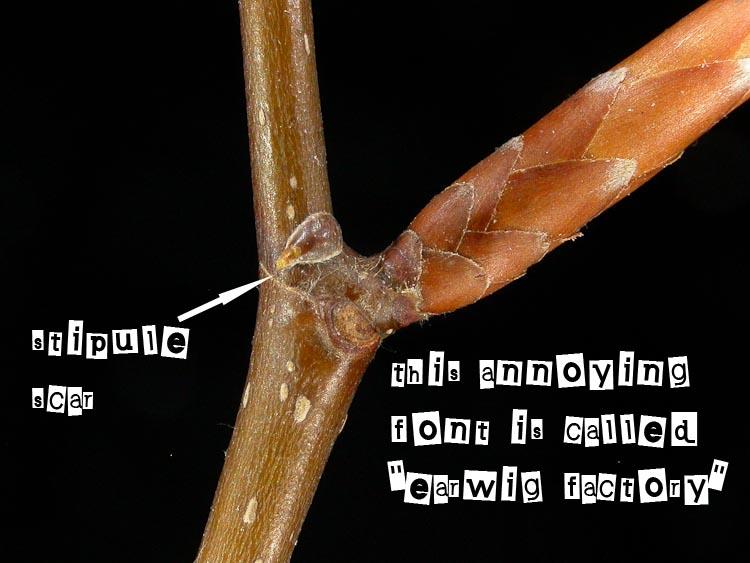 Fagus grandifolia stipule scar