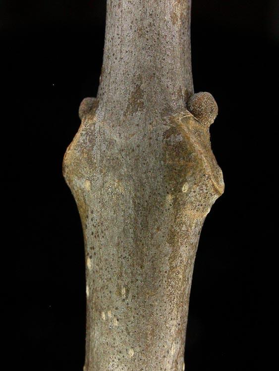 Fraxinus-pensylvanica-twig-lateral