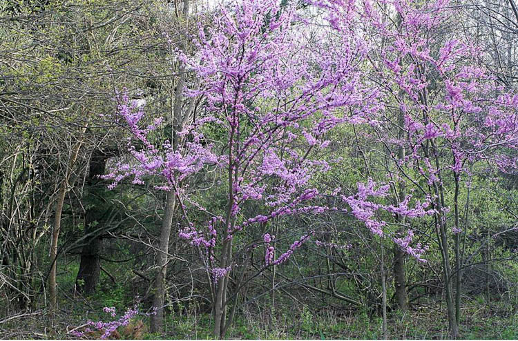 Redbud ohio plants redbud is a mass flowering understory tree mightylinksfo