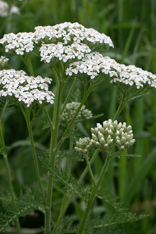 Families asteraceae ohio plants achillea millefolium yarrow is a biennial herb with small white flower mightylinksfo