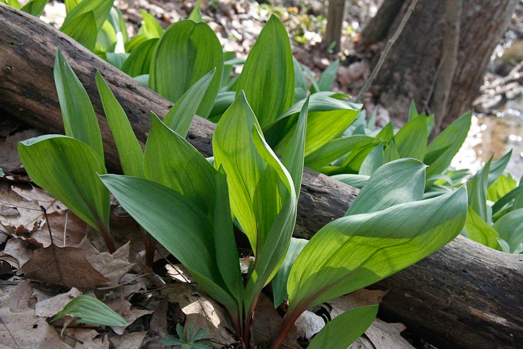 Allium tricoccum