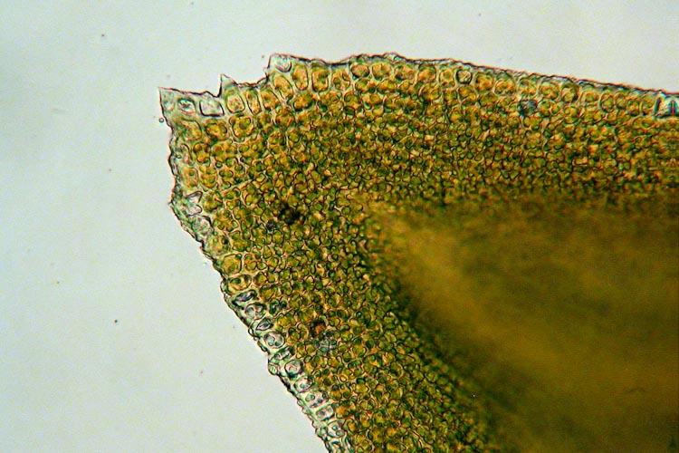 Anomodon attenuatus cells