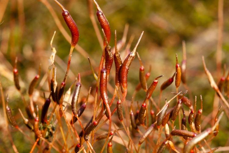 Atrichum sporophytes