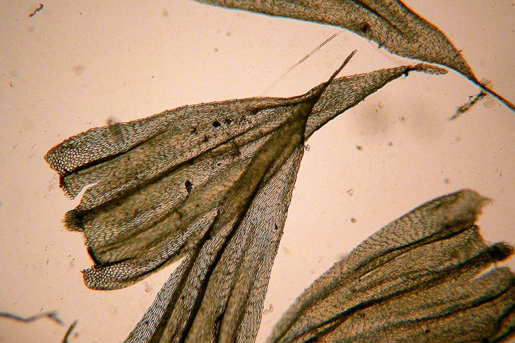 Brachythecium leaves