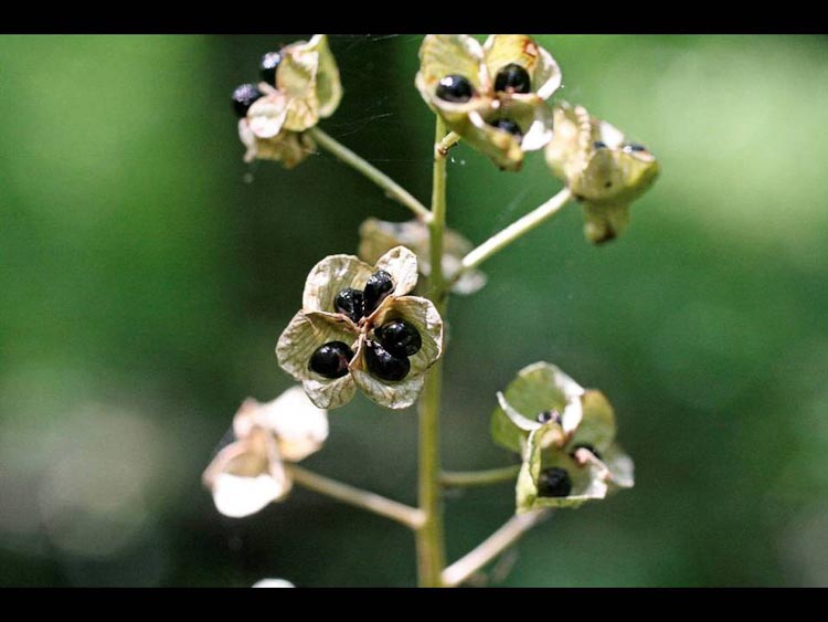 Camassia scilloides fruit