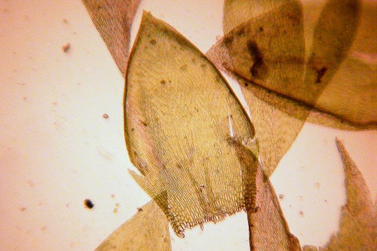 Entodon-cladorrhizans-leaves