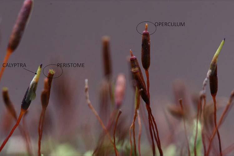 Entodon cladorrhizans sporophyte