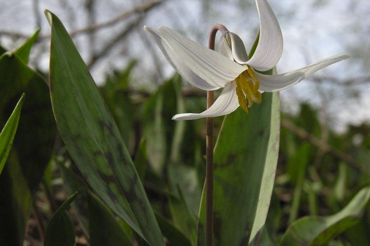 Erythronium albidum plant