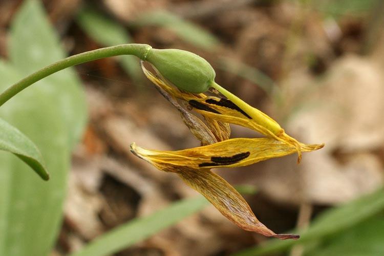 Erythronium americanum fruit