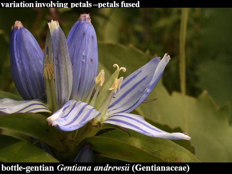 Gentiana andrewsii