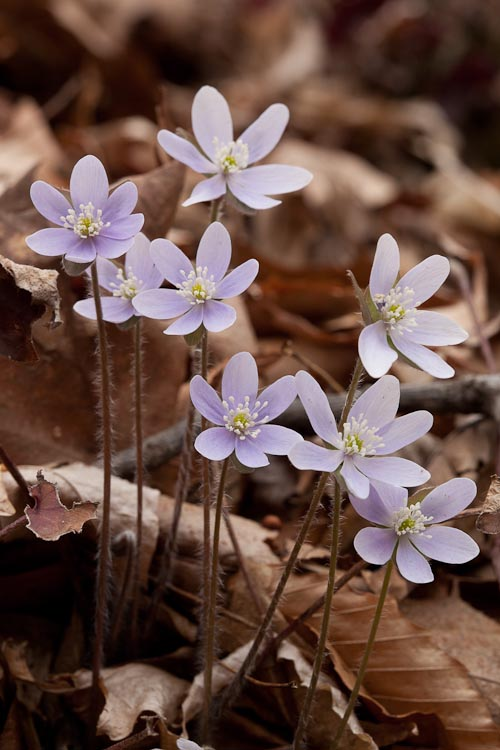 Hepatica acutiloba flowers