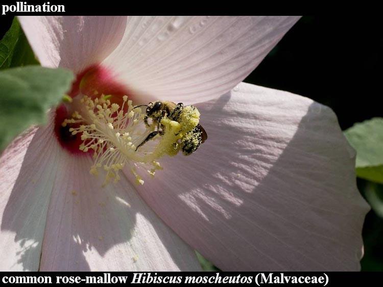 Hibiscus moscheutos with Ptilothrix bombiformis