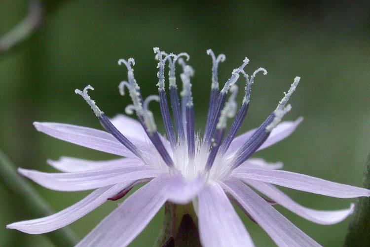 Lactuca canadensis pollen