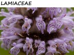 LAMIACEAE, THE MINT FAMILY