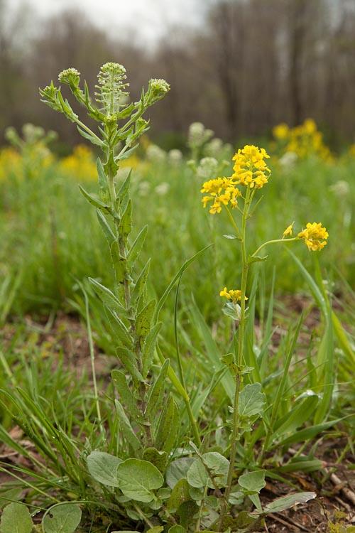 Lepidium campestre and Barbarea vulgaris