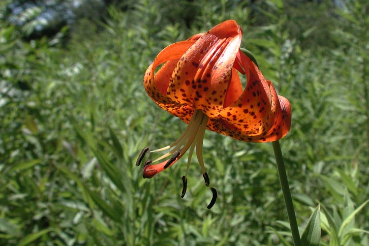 Lilium michiganense flower