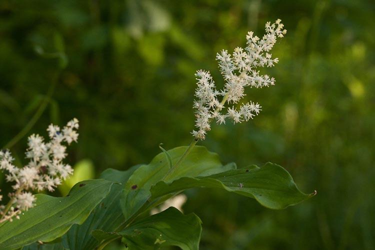 Maianthemum racemosum