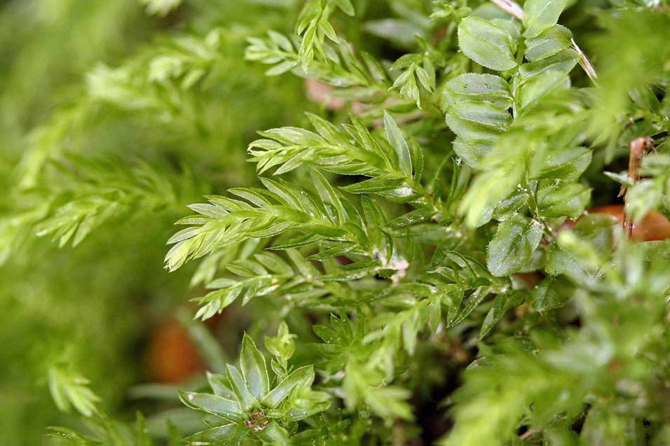 Mnium hornum and Plagiomnium ciliare