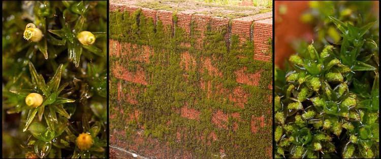 Orthotrichum Syntrichia wall