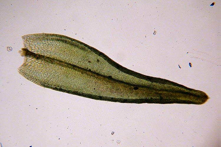 Orthotrichum species leaf