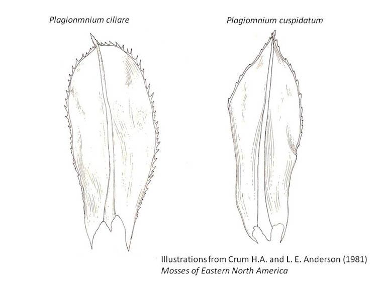 Plagiomnium leaves