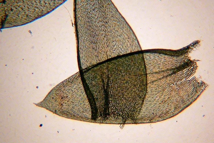 Plagiothecium denticulatum leaves