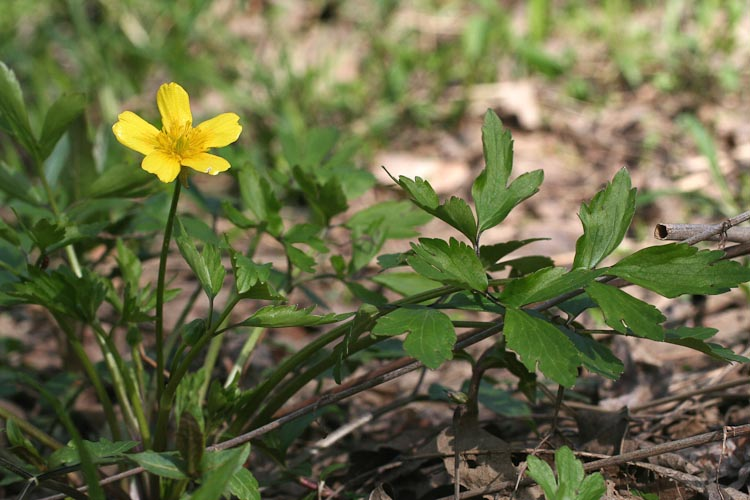 Ranunculus leafy