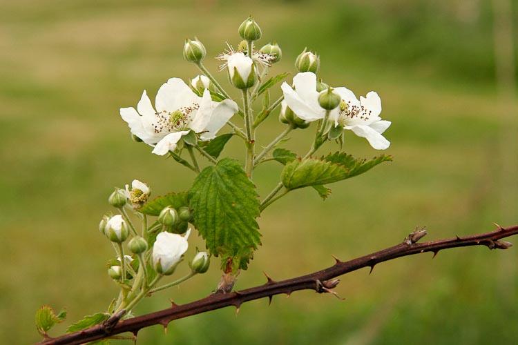 Rubus allegheniensis floricane