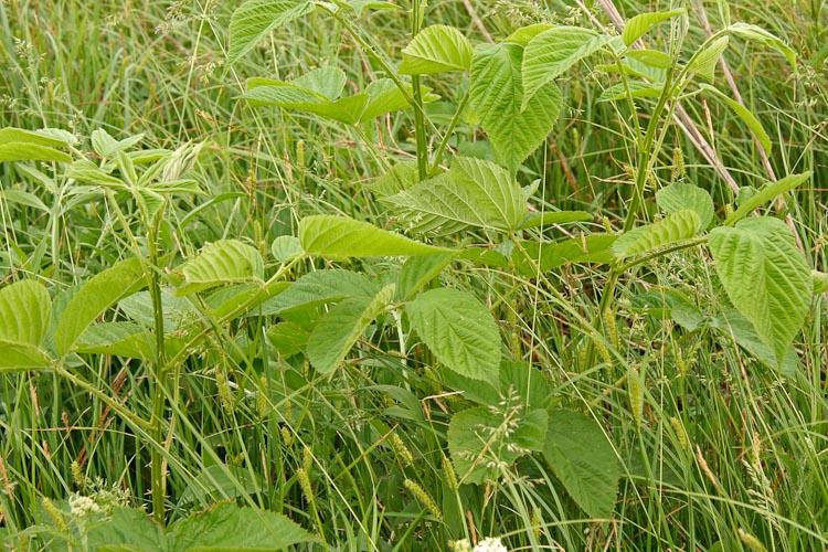 Rubus allegheniensis primocane